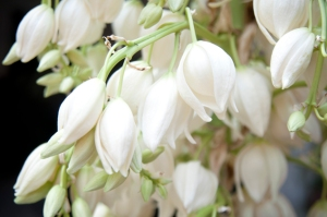Flor-de-izote-FLAAR-garden-Close-up-Izote-flowers